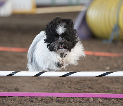 Dog jumping agility hurdles