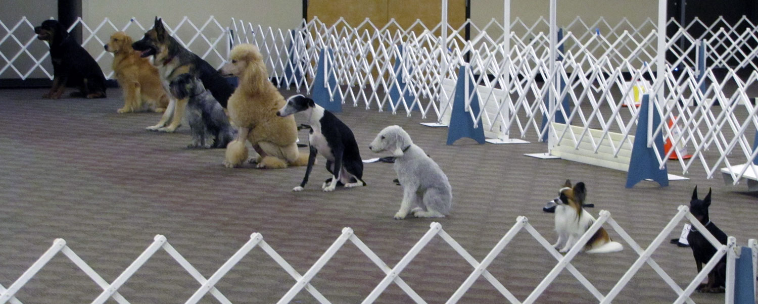 Dogs on a sit-stay in an Emerald Dog Obedience Club training class